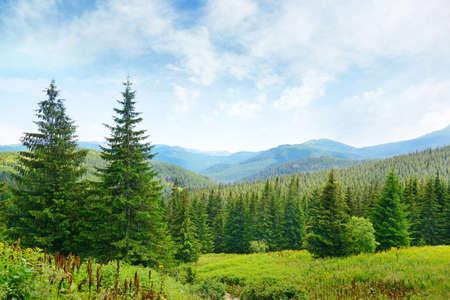 美麗的松樹上背景的高山區。