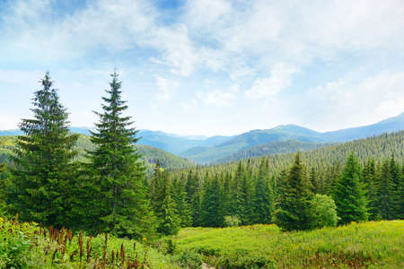 pine trees: Beautiful pine trees on background high mountains.