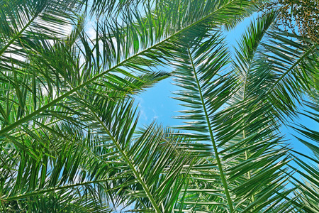 droop: Branches of a coconut tree on background sky. Stock Photo