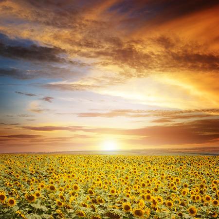 girasol: hermosa puesta de sol sobre el campo de girasoles Foto de archivo
