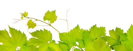 tip of the leaf: fresh grape leaves isolated on white