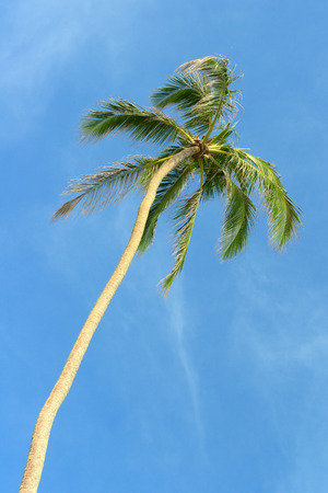 droop: high palm on background of blue sky Stock Photo