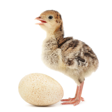 gallina con huevos: pavo pollo aislado en el fondo blanco Foto de archivo
