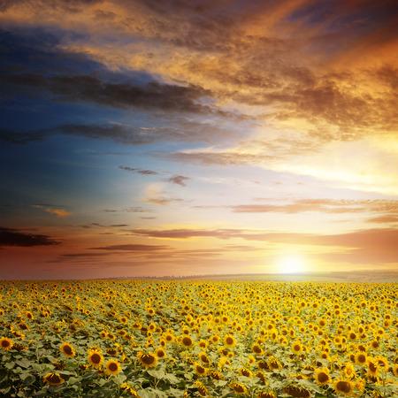 flowering field: beautiful sunset over sunflowers field