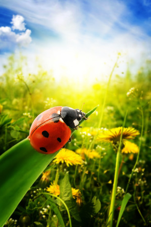 ladybug on leaf: Ladybug on spring green field Stock Photo