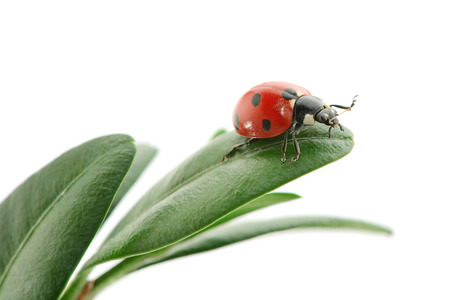 lady beetle: ladybird on green leaf isolated on a white background