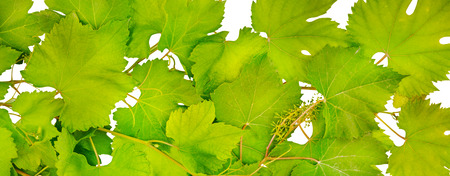 tip of the leaf: Background of fresh grape leaves