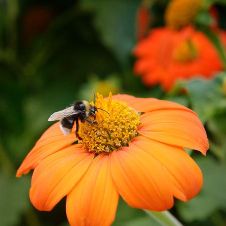bee on flower: Big bumble bee on flower Stock Photo