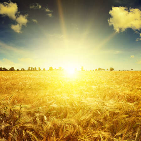 to field: Beautiful sunrise over a field of wheat Stock Photo