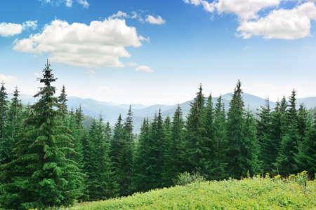 Árvores bonitas do pinho no fundo montanhas altas