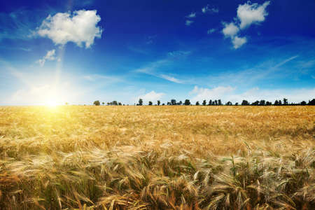 field sunset: Beautiful sunrise over a field of wheat Stock Photo