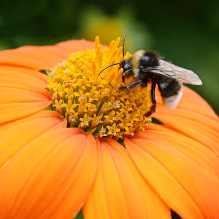 bee and flower: Big bumble bee on flower Stock Photo