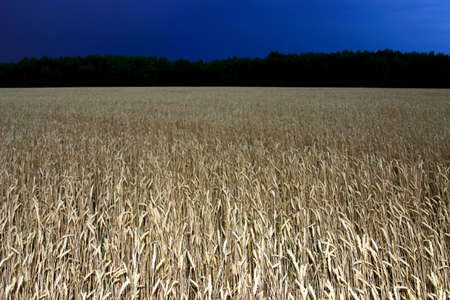 night above the wheat field photo