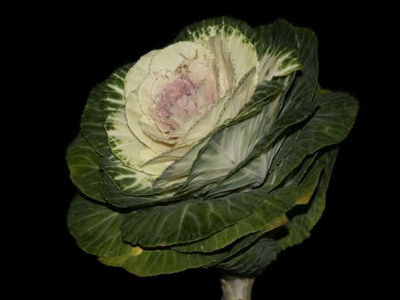 green cabbage on a dark background photo
