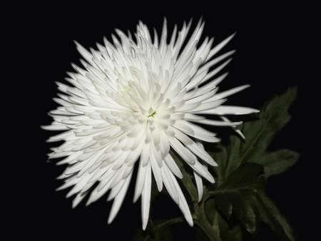 white flower on a dark background photo