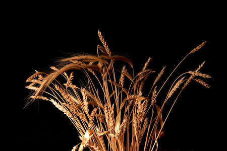 barley head: ears of ripe wheat on a black background Stock Photo