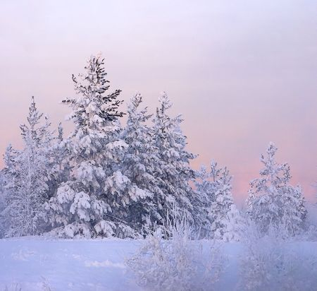 snowbound: snow-bound fir-tree on a background picturesque sunset and in winter haze Stock Photo