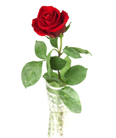 scarlet flowering rose with a bright green foliage on a white background photo