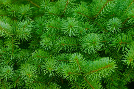 brightly: Brightly green prickly branches of a fur-tree or pine Stock Photo