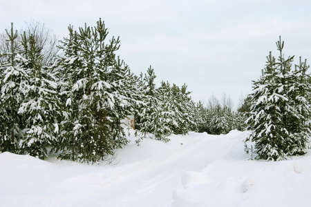 evergreen trees: Wood from evergreen trees covered by a snow on a background of the cloudy sky