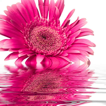 pinks: rose flower is half submerged in water on a white background