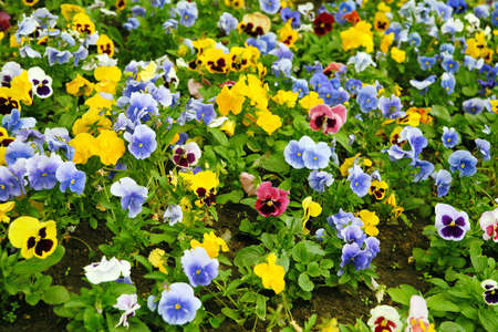 Multi-coloured bright pansies on a bed with a green grass Stock Photo - 3488179