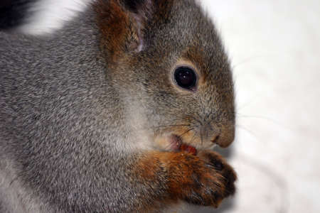 Nice young squirrel sitting and eating a nut photo