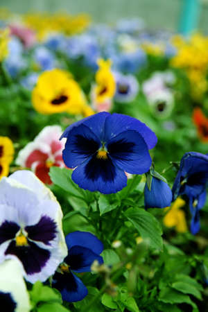 Multi-coloured bright pansies on a bed with a green grass Stock Photo - 4480935