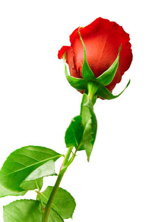 long stem: scarlet flowering rose with a bright green foliage on a white background