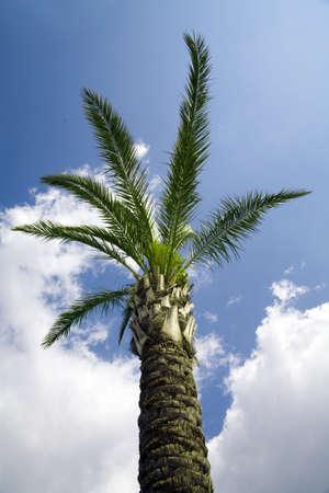 single tropical palm on a background cloudy sky photo