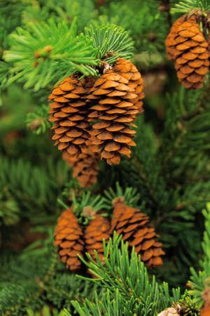 szyszek drzew iglastych i zielonych igieł Zdjęcie Seryjne - 5683770
