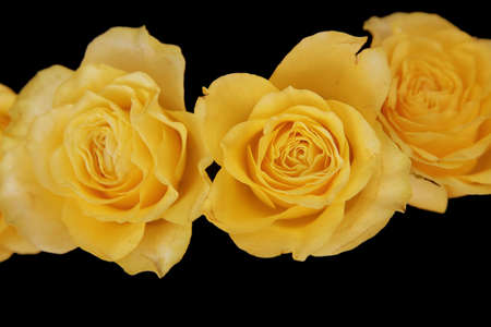 long stem roses: yellow roses with on a black background