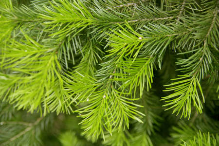 Brightly green prickly branches of a fur-tree or pine photo