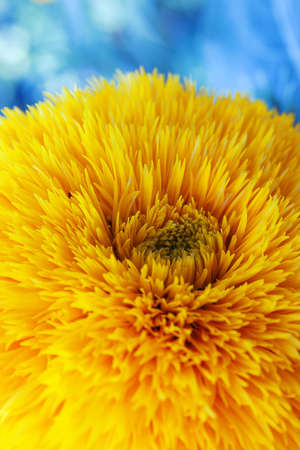 close-up of yellow spring flower on a blue background photo