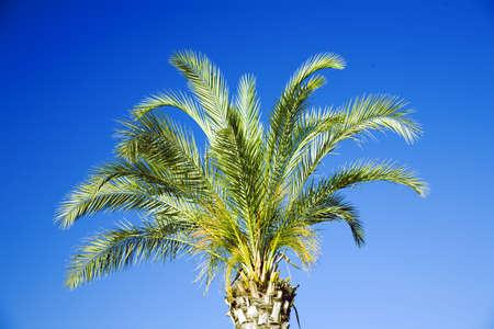 single tropical palm on a background clear blue sky photo