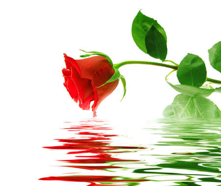 Beautiful red rose on white background with reflection in a water smooth surface Stock Photo - 7804504
