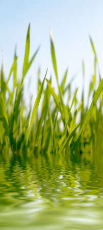 Juicy green grass growing near to water pond photo
