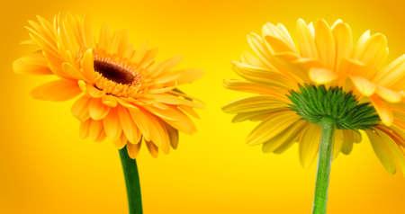 Bright orange flowers on a yellow background photo