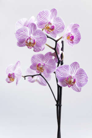 Branch of orchid with gentle flowers on a light background photo