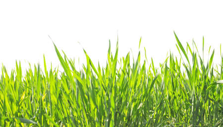 juicy green summer grass on a white background photo
