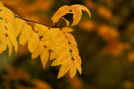 Yellow branch of a mountain ash close up photo