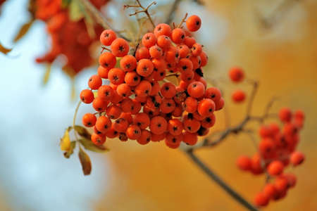 fascicle: Cluster of a ripe juicy mountain ash