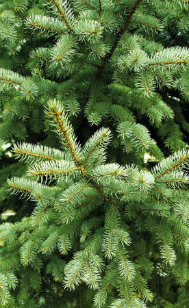 prickly needles of a coniferous tree as a natural background photo