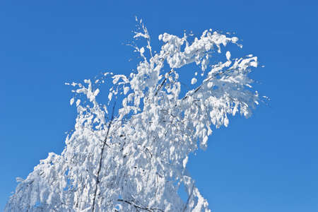 Snow covered branch of a tree against the blue sky photo