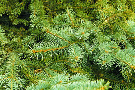 coniferous tree: Brightly green prickly branches of a fur-tree or pine Stock Photo