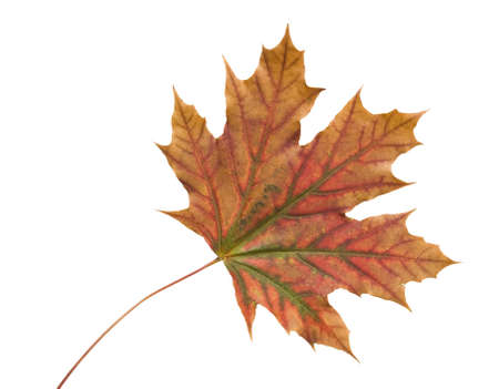 dried orange: Autumn dry maple leaf on a white background