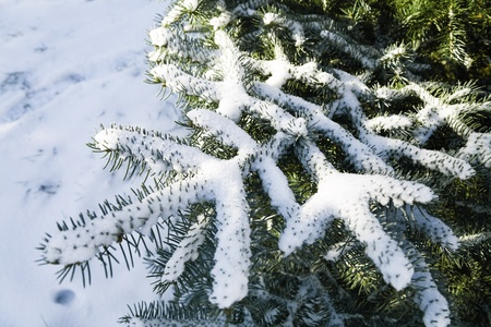 Coniferous tree with sharp prickles and snow-covered branches Stock Photo - 11313067