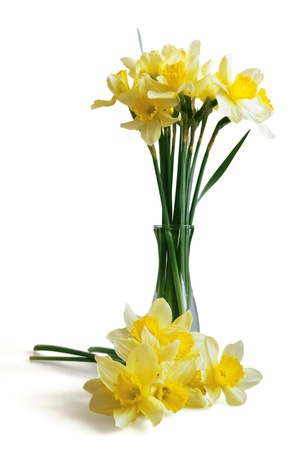 Gentle yellow narcissuses on a white background photo