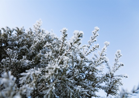 prickles: Coniferous tree with sharp prickles and snow-covered branches Stock Photo