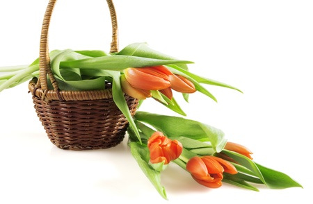 red tulips in a basket on white background photo